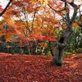 《関西花の寺25ヶ所巡り》【第5回(13・14番)】紅葉・サガギク