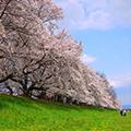 ◆関西の行ってみたい桜の名所ランキングNO.1◆背割堤・桜のトンネルと文人・歌人に愛された玉川の堤に咲く桜と桜舞う!世界遺産・平等院